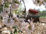 apple blossoms with tractor